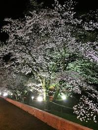 茨城県大子町の夜桜