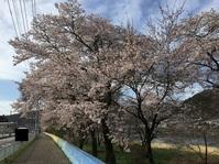茨城県大子町の桜