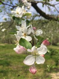 りんごの花は何色?
