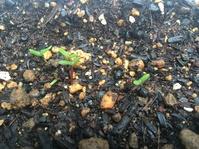 プランターに植えた種が発芽