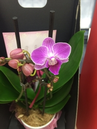 「胡蝶蘭」開花