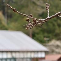 桜、カウントダウンへ !