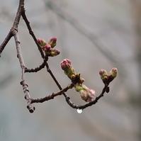 さくら開花直前 ...雨のルネ高