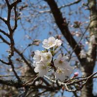 桜が咲き出しましたよ!
