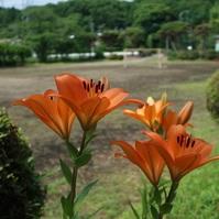 スカシユリ(透百合) と 園芸部のベジタブルたちの花々と...