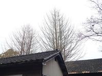 公孫樹の木も箒になった