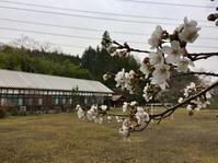 大子校の桜、咲き出しました !