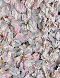桜、また来年!
