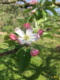 林檎の花が咲き出しましたよ。