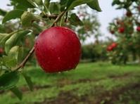 りんごの季節がやって来た !