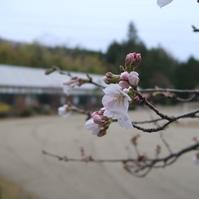 桜が咲き出しましたよ。