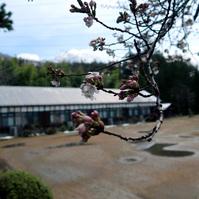 ルネ高の桜が咲いたよ!