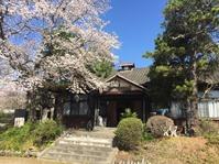 浅川ルネ桜、きれい。