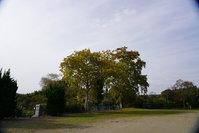 校庭の鈴懸けの木