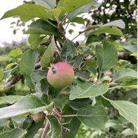サスティナブルな大子町のリンゴが実をつけ始めました。