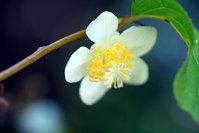 マタタビの花が綺麗だったので。