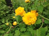 ヤマブキの花