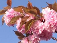 八重咲きのサクラ