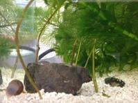 タナゴ仔魚(胚)の低温処理実験スタート