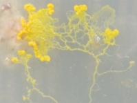 不思議な生き物、粘菌(変形菌)を飼育中