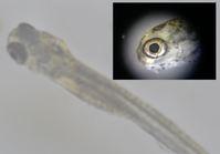 稚魚を育てる生き餌(餌料生物)の開発