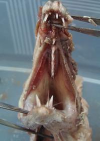 年の瀬に「巻貝の寄生虫騒動」顛末記