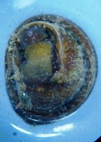 巻貝の天然餌料に「バイオフィルム」利用