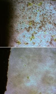 イシマキガイもバイオフィルムに喰らいつく
