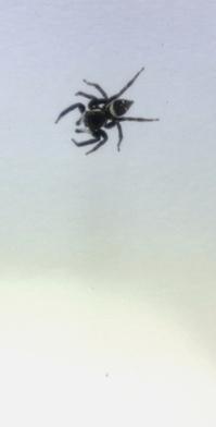 ハエトリグモの出現_それは吉か凶か