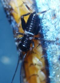 亜熱帯産コオロギの自家繁殖に成功