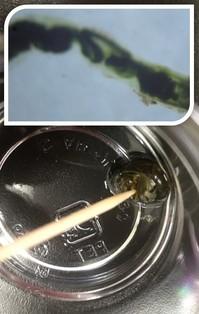 淀川で採集した巻貝を使った「免疫学実習」